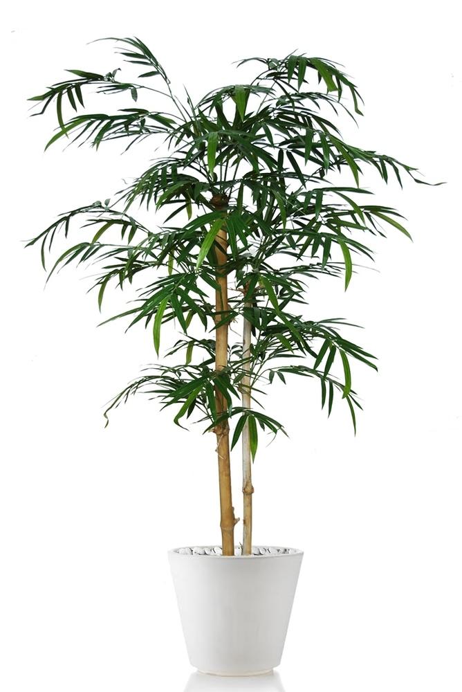 Bamboo Japanese Tree